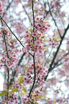 桜、チェンマイ、タイ