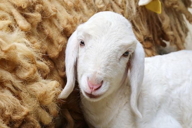 生まれたばかりの羊