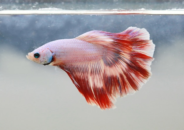 赤白ベータ魚の尾が水槽で泳ぐ