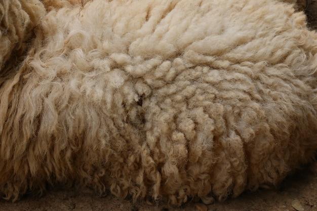 茶色の羊、羊毛
