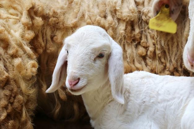 Новорожденная овца, заброшенная новорожденная овечка