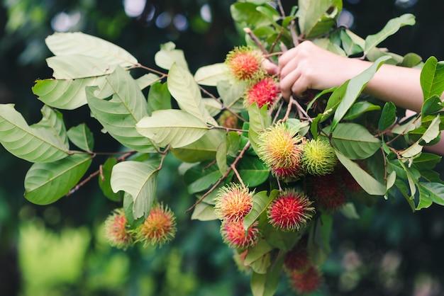 ランブータンの果実を持っている手