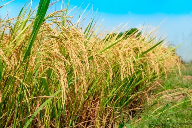 緑の田んぼで黄金の水田。夕方には田舎の本当の性質。