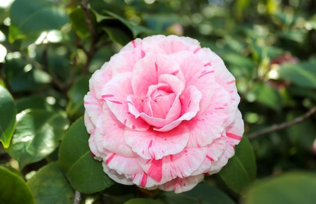 ピンクのツバキの花だけ