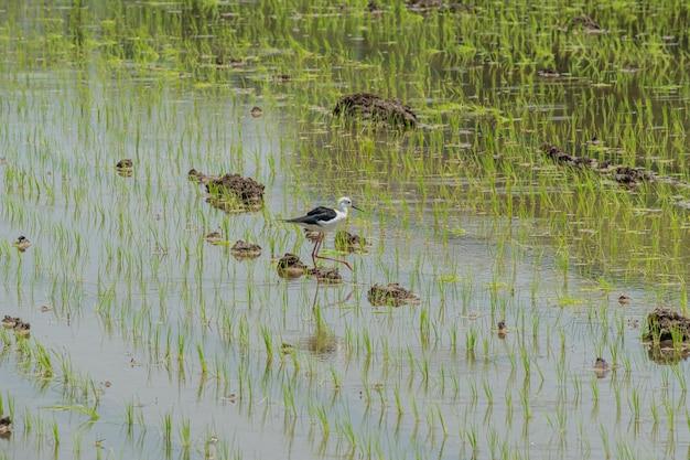 鳥とプランテーション若い田んぼを見つける