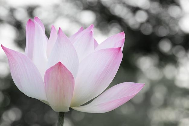 池に咲く美しいスイレン