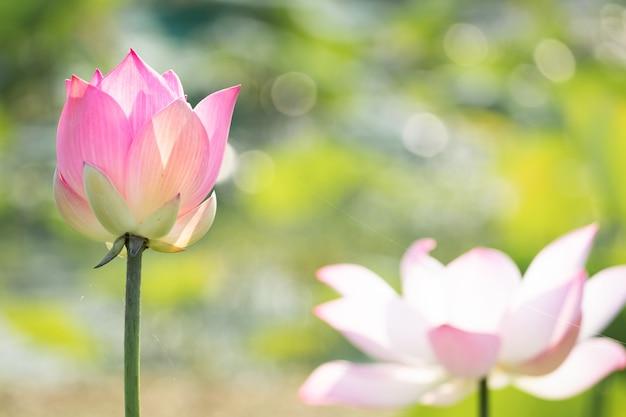 Красивое цветение кувшинки в пруду