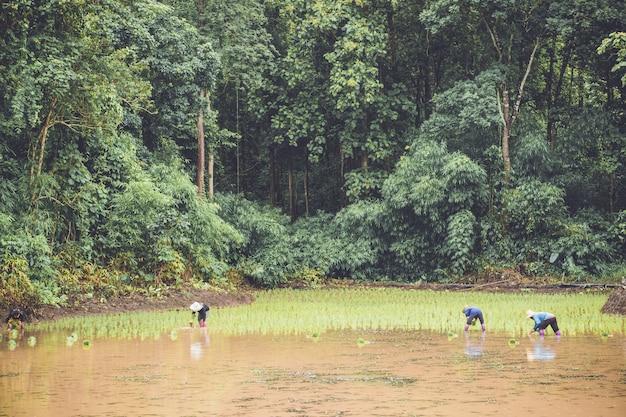 Три фермера сажают молодой рис на плантации с водой и лесом