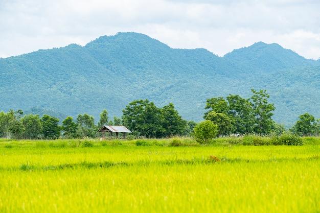 Старый оцинкованный коттедж на рисовых полях растет и горы