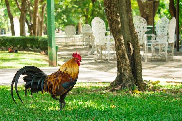 公園を歩いている鶏。自然な背景。