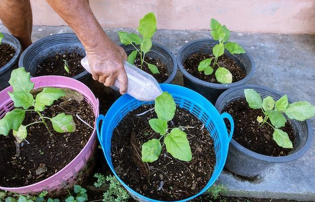 男はトマト植物に肥料を入れています。