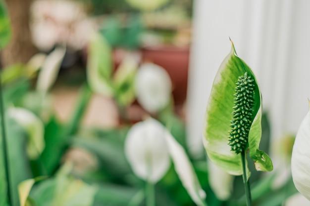 緑のアンスリウムの花ぼやけたアンスリウム後のぼやけた画像