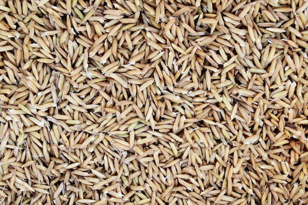たくさんの水稲の種子と小さな根