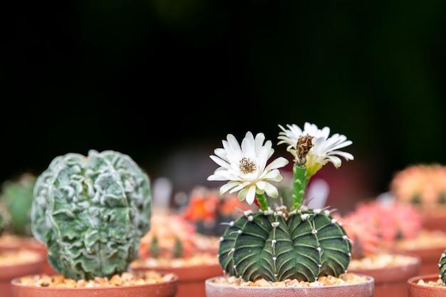 サボテンの白い花。