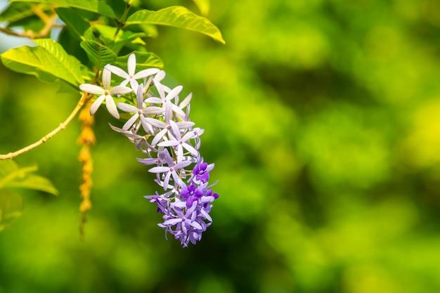 紫の花輪、庭に咲くサンドペーパーつる。