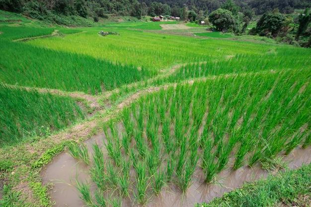 На рисовых полях растет зеленое рисовое дерево