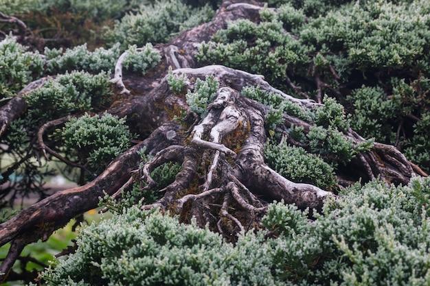 山腹の緑の松の木のフォレスト
