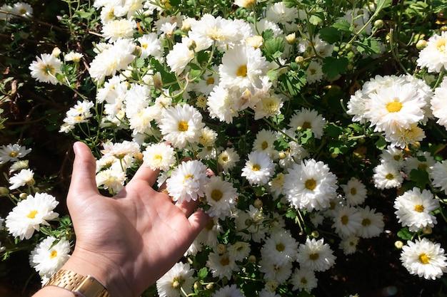 白い菊の花、緑の葉を木に