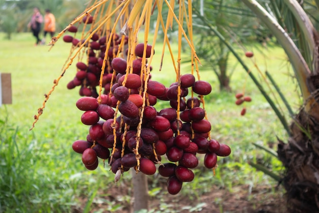 ナツメヤシの木の枝と熟したナツメヤシの果実
