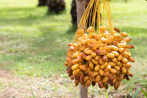 Спелые финиковые пальмы с ветками на финиковых пальмах