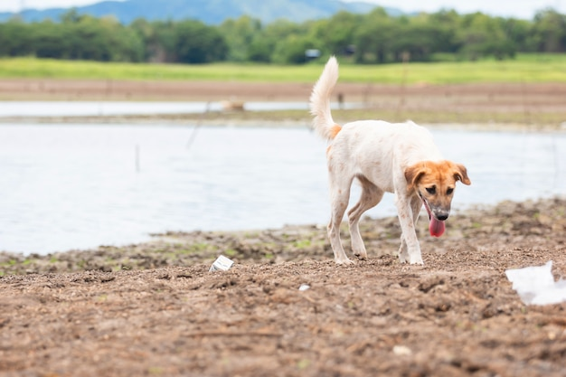 乾燥した地球温暖化のため、白い犬は乾燥した割れた地面の土地で食べ物を見つけます。