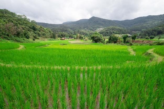 緑の稲の木が水田で成長しています