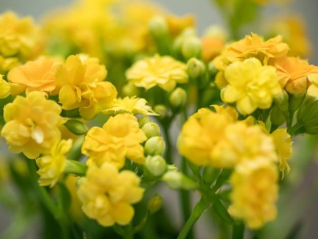 Фон желтого цветочного имени каланхоэ