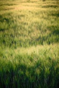 夕暮れの夕暮れの日没の大麦のフィールド、緑の小麦