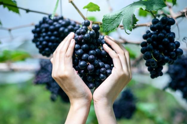 女性はつるに紫赤ブドウを保持