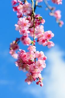 Красивый розовый вишневый цвет с голубым небом