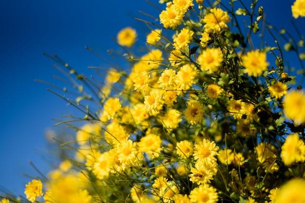 Желтый цветок хризантемы (ромашки) в голубом небе, цветы в традиционной китайской медицине