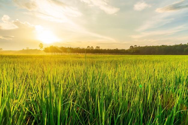 日の出や夕日の明かりの光で田んぼ