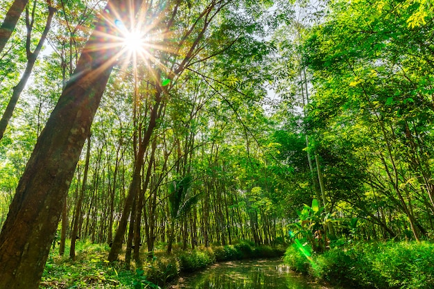 Пара каучукового дерева, плантации каучукового латекса и каучукового дерева