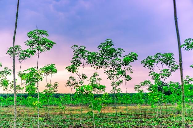 Плантация каучукового или каучукового дерева или каучукового дерева южного таиланда