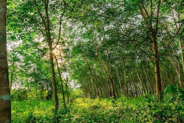 タイ南部のプランテーションラテックスゴムまたはパラゴムの木または木のゴム