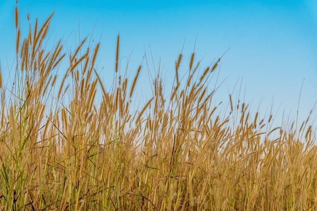 Цветок травы с голубым небом солнечного света