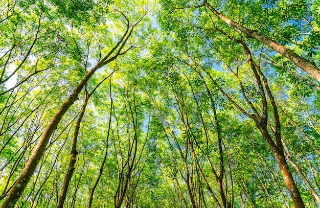 Латексная каучуковая плантация или пара каучукового дерева на юге таиланда
