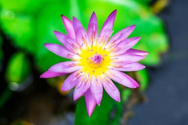 非常に新鮮な盆地の紫色のユリの水または蓮の花