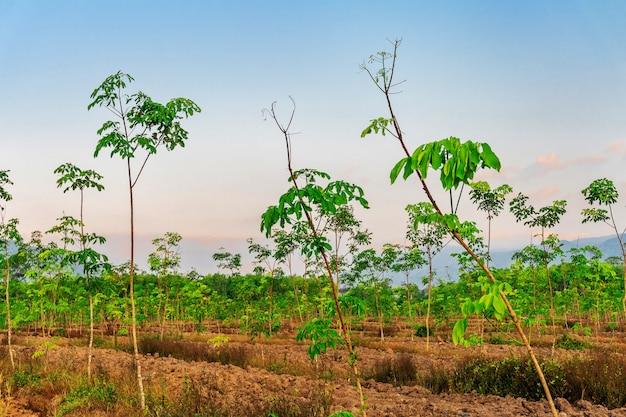 Пара каучукового дерева, латексная каучуковая плантация и дерево каучуковое