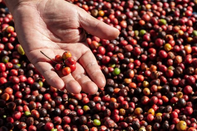 Свежие кофейные ягоды арабики