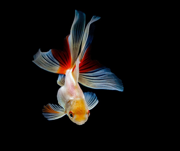 金魚は暗い黒の背景に分離