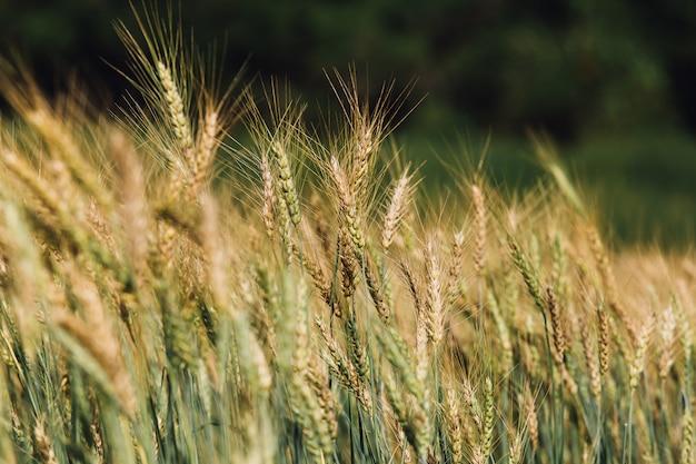 日没の麦畑