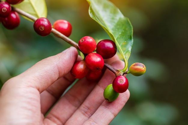 タイ北部の木で熟しているコーヒー豆