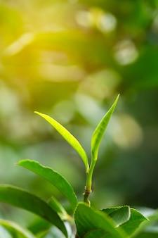 Листья зеленого чая крупного плана свежие.