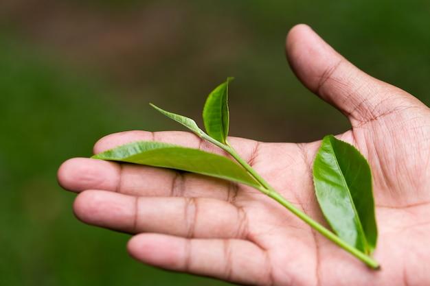新鮮な緑茶をクローズアップ。