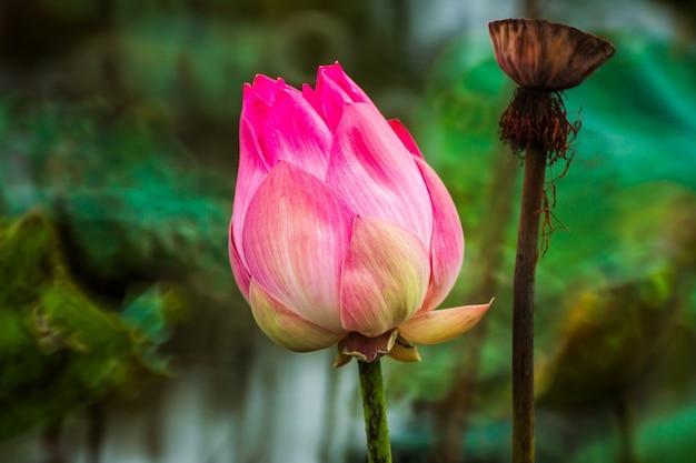 池の美しいピンクのスイレンや蓮の花。