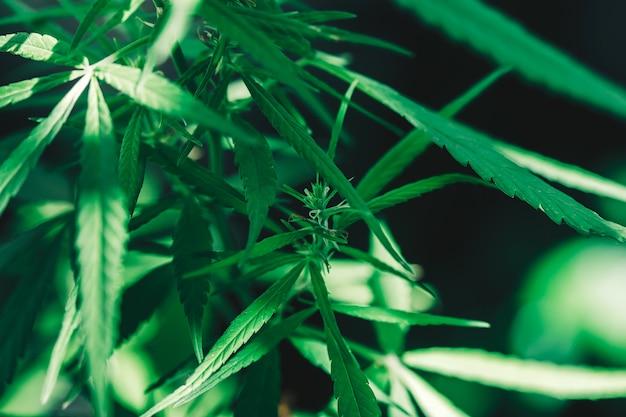 大麻のクローズアップ