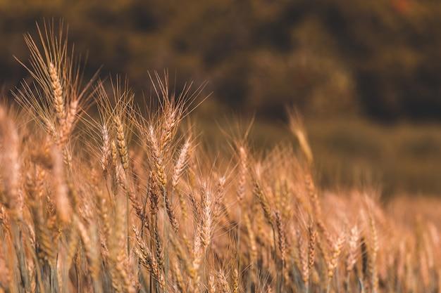 日没の美しい麦畑