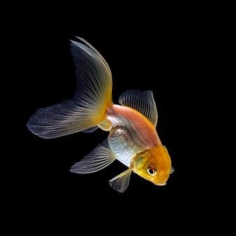 分離された金魚