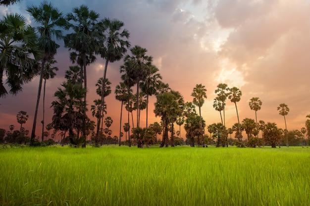 Сахарная пальма близко к вершине, увидеть листья и фрукты,